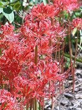 Lycoris Radiata Spider Lily Bulbs Perennial Resistant Red Heirloom Flower Bonsai
