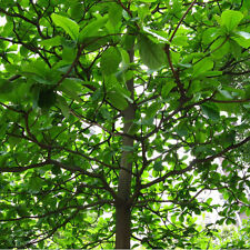 5pcs Indian almond Seed Terminalia Catappa Rare Tropical Tree Leaf Indian Almond