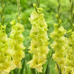 10 Gladioli Green Star Summer Flowering Bulbs Plant Perennial Garden Stunning