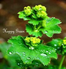 LADY'S MANTLE - 250 SEEDS - Alchemilla mollis - HERB