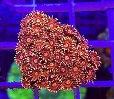 M.O.C LAVA FLAME GONIOPORA FRAG/LPS/MARINE