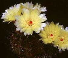 Parodia Ottonis @ rare cactus notocactus cacti 25 SEEDS