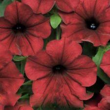 Petunia Velour Dark Red 200 Seeds Cold Hardy Heat Tolerant Beautiful Flowers