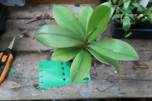 Nepenthes sibuyanensis x merrilliana BE-4026