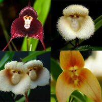 50Pcs Monkey Face Orchids Flower Seeds Rare 3 Kind Funny Home Garden Perennial