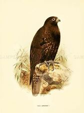 DRAWING BIRD ROWLEY KEULEMANS GYRFALCON ART PRINT POSTER LAH345A