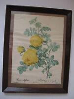 antique Pierre Redoute Rosa Sulfurea Jaune PRINT rose flower botanical art vtg