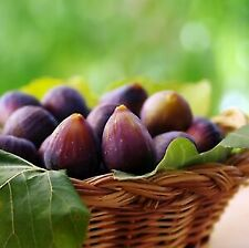 """""""Beers Black"""" Fruit Tree Hardy Fig Live Plant Exotic Tropical"""