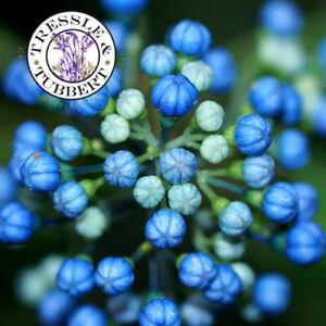 Rare Dichroa febrifuga Chinese quinine Perennial Shrub  10 seeds UK SELLER
