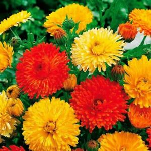 Seeds Calendula Double Mix Scotch Pot Marigolds Ruddles Flower Balcony Annual