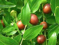 Ziziphus Zizyphus Jujuba - Chinese Date - Rare Tropical Plant Tree Seeds (5)