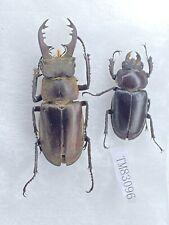 Tm83096 lucanidae lucanus dybowski ssp 49/30mm Beijjng