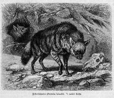ZIBETHHYÄNE  Hyäne   Erdwolf (Proteles cristata )Holzstich von 1891