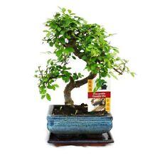 Bonsai Chinesische Ulme - ca. 6 Jahre