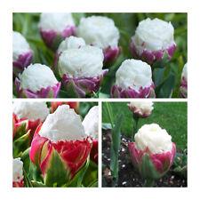 Lot 49 Double Late Ice Cream Tulip x 15 Flower Bulbs Unusual Flower.Spring Sale