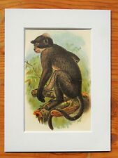 Mangabey - Mounted Antique Animal Monkey Primate Print Victorian Lithograph