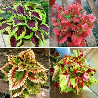 100Pcs Bonsai Colored Grass Seed Perennial Flower Potted  Foliage Plant Coleus F