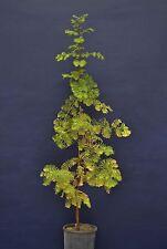 METASEQUOIA GLYPTOSTROBOIDES v18 Metasequoia Abete d'acqua 1 pianta