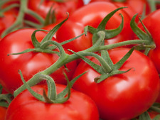 Daydream, a Large Smooth Deep Red Tomato - Australian Grown 10 Seeds!