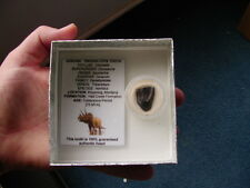 TRICERATOPS TEETH TOOTH DINOSAUR FOSSIL Gift Boxed