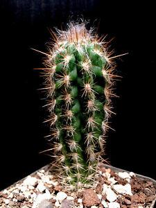 Pilosocereus gounellei      we/own roots    12cm