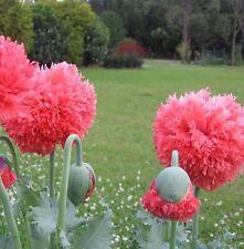 F0358 Peony Poppy Bombast Red x50 seeds