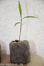 3 Stück Riesenbambus - Phyllostachys pubescens Moso - Jungpflanze + McBambus