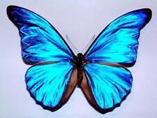 MORPHO RHETENOR CACICA - unmounted butterfly