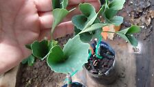 Tubiformis ginkgo biloba, live grafted plant, shipped in pot with soil