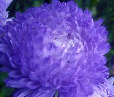 Aster Paeony Duchess Blue Callistephus Chinensis - 20 Seeds
