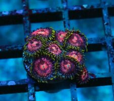 Wwc Og Space Monsters Zoas / Palys - Badass Frags Wysiwyg Live Coral Frag