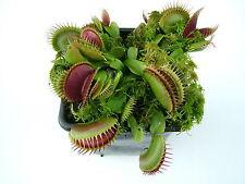 Venus Fly Trap Australian Red Cultivar House / Garden Plants Dionaea Muscipula
