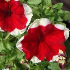 50 Petunia Dreams Red Picotee Seeds