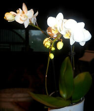 Phalaenopsis Phal. Timothy Christopher (Mini-Orchis) Blooming