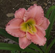 Daylily Plant Elegant Candy Stamile 1995 Pink Red Daylilies Flower Df