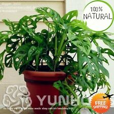 Philodendron Bonsai Vine Seeds Plants Leaf Anti Radiation Absorb Indoor 100pcs