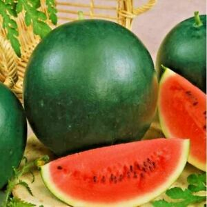 Vegetable Water melon Sugar baby 10 seeds Fruits Garden Plant Green UK Seller