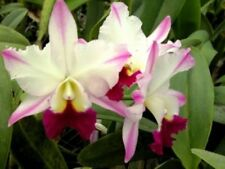 """Rlc. Laura Bush 'Carmela' Cattleya Orchid Plant Shipped in 2 1/2 """" Pot"""