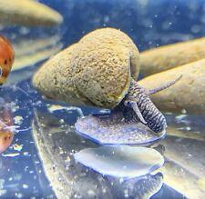 2 Chocolate Rabbit Snails (Tylomelania Zemis) - Elephant Snail Sulawesi