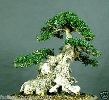 50 Semillas-Seeds. Olivo Acebuche. Olea europaea OLIVO SILVESTRE. Apto Bonsai.