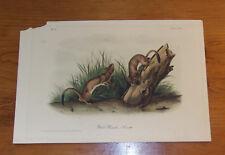 Audubon. Quadrupeds. Octavo. White Weasel.