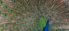 Peacock Photo Canvas 10 x 22 inch panoramic (UK)