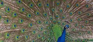 Peacock Photo Canvas 10 x 22 inch panoramic (UK)