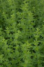 Kräuter-Set 10x Kräuter Pflanzen für Kräuterspirale o. Kräuterbeet - winterhart