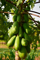 Red Lady Papaya  60 Seeds Fruits Seeds Non-GMO Tropical Fruit Tree Seeds