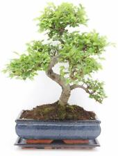 CHINESE ELM BONSAI TREE  - All Sizes - You Choose