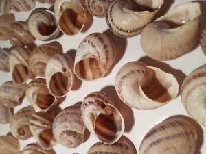 Shells-second-class 100 Large size - Shelldwelling Cichlids/Tank Decor