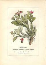 Stampa antica PIANTE DELLA BIBBIA NARDO Nardostachys 1842 Old antique print