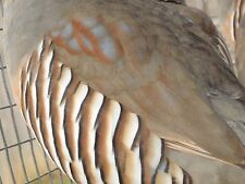 15+ Barbery partridge hatching eggs, pheasant,chukar, quail shipping now.