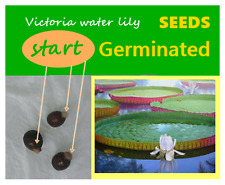 3 Seeds start Germinated Victoria water lily,Victoria Amazonica, Free Ship